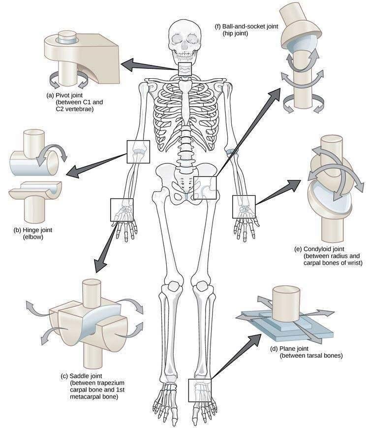 tipuri de articulatii schema tratăm artroza articulației încheieturii